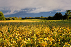 Harvest Time (Peeblespair) Tags: peeblespairphotography farming agriculture farmfield soybeancrop golden latesummer harvest landscape