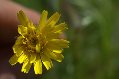 ombre sul giallo (voyager7000) Tags: sardegna macro sardinia natura fiori prato insetti nuxis voyager7000