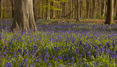 Bluebell Fields (andrewcoswayphotography) Tags: blue trees flower tree bluebells bloom april m3 wiltshire beech micheldever