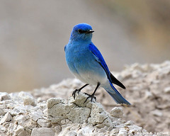 Mountain Bluebird (Sialia currucoides) (Critter Seeker) Tags: bird nature birds animal southdakota canon outdoors rebel wildlife canonrebel bluebird badlands badlandsnationalpark mountainbluebird sialiacurrucoides t2i mygearandme canont2i
