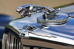 1949 Jaguar Mk V 3.5 Litre saloon radiator mascotte (ClassicarGarage / Marc Vorgers) Tags: green grey gris groen metallic sony sigma grau vert v marc jaguar 35 saloon mk 1949 slt litre grijs a77 70200f28 mk5 grun metallique imparts vorgers classicargarage