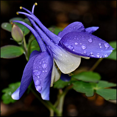 """Raindrops Keep Falling On My Head"" (Eleanor (WHU)) Tags: garden aquilegia flowerbasket floralfantasy perfectpetals flowersarebeautiful worldofflowers flickrsawesomeblossoms flickrflorescloseupmacros amazingdetails passionforflowers unforgettableflowers addictedtoflowers flowersonflickr weallloveflowers anaturecanvas beautifulflowergroup flowers4you flowerblossomgroup"
