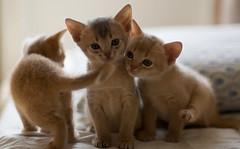 All of Us 2 (peter_hasselbom) Tags: blue cats cat 50mm daylight kitten f14 naturallight kittens litter fawn abyssinian 3cats 3kittens 33daysold