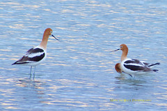 American Avocet (Aspenbreeze) Tags: bird water colorado wildlife wildanimal avian waterbirds marbledgodwit americanavocet avocet thegalaxy sandpiperfamily aspenbreeze
