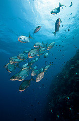 Trevally School (andythirlwell) Tags: fish shark nikon jellyfish underwater pacific turtle diving napoleon mandarin cuttlefish palau ikelite reefscape wrass d700 andythirlwell apnoeaphotography