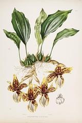 n41_w1150 (BioDivLibrary) Tags: guatemala mexico orchidaceae plants missouribotanicalgardenpeterhravenlibrary bhl:page=769157 dc:identifier=httpbiodiversitylibraryorgpage769157 taxonomy:binomial=stanhopeatigrina womeninscience artist:name=augustainneswithers artist:viaf=95819243 augustainneswithers q2870951 illustrator:wikidata=q2870951 hernaturalhistory