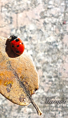 Untitled (Margcoss) Tags: sardegna italy macro nature natura ladybug foglia coccinella sonysti rememberthatmomentlevel1 margcoss
