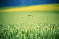 weed (mamuangsuk) Tags: blue verde green field yellow rural jaune weed blu wheat country grain vert bleu giallo rows campagne champ ble orge mauvaiseherbe campodigrano herbesfolles douglarson orges canonef70200l mamuangsuk