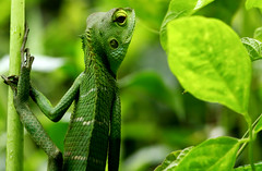Green Lizard (karthik Nature photography) Tags: india colour green nature horizontal forest canon outdoors photography leaf day reptile wildlife nopeople lizard animalsinthewild oneanimal wildlifephotography animalthemes differentialfocus highqualityanimals karthikphotography