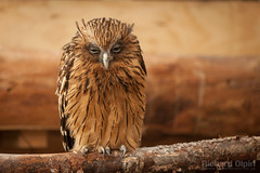 Buffy Fish owl (Richard Olpin LRPS) Tags: bird animal fauna flickr wildlife owl online herefordshire facebook kington buffyfishowl owlcentre