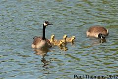 CANADA GOOSE / BERNACHE DU CANADA (Mononc' Paul) Tags: family famille bird goose lasalle oiseau bernache parcdesrapides floraandfaunaoftheworld thewonderfulworldofbirds