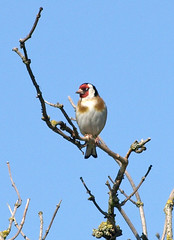 Goldfinch (Mr Grimesdale) Tags: goldfinch finch britishbirds stevewallace mrgrimesdale