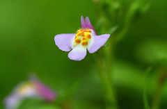 A very tiny wild flower (♥ Spice (^_^)) Tags: macro green nature japan canon geotagged photography eos photo spring asia flickr purple image bokeh may picture violet petal tiny 7d 日本 花 wildflower 自然 緑 植物 bulaklak 2012 紫 栃木県 日光市 tochigiprefecture 花弁 キャノン nikkoshi マクロ olétusfotos panoramafotográfico ボケ mygearandme gettyimagesjapan12q2