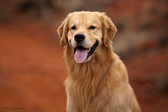 Duffy (Tom_Morris Photos) Tags: dog goldenretriever golden hiking sedona retriever
