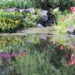 Tulips in Water thumbnail