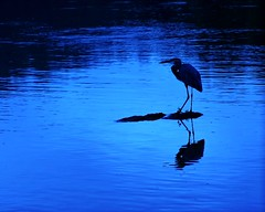 """Great Blue Heron"" (jamesfburns) Tags: morning blue heron birds night er great large aves her greatblueheron waterbirds nightfall birdsoftheworld largebirds longleggedwaterbirds birdsoftheunitedstates storksandherons waterbirdsoftheworld waterbirdsofamerica"