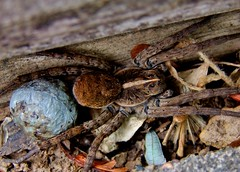 Wolf Spider with egg sack. (jamesfburns) Tags: spider arachnid insects bugs eggs eggsack brownspider creepycrawlythings largespiders spidersoftheworld spiderwitheggsack spidersoftheunitedstates arachnidsoftheworld largebrownspiders