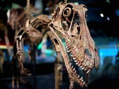 blur museum digital dead skeleton fossil death skull carlton dof dinosaur bokeh f14 teeth australia melbourne olympus victoria cast raptor adapter mounted bones wesley predator specimen carnivore melbournemuseum wideopen nicholsonst eyesocket deinonychusantirrhopus theropod iso1000 1125s wsl mirrorless chopit dontchopthedinosaurdaddy dromaeosaur dinosaurwalk cmount micro43 microfourthirds lemonbokker cctvlens epm1 olympusepm1 penmini wesley24mmf14 wsl2414 hdsmc24mm cmouts madeinwesley scleralring