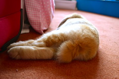 Flopped (mylo_rabbit) Tags: sleeping pet baby house cute rabbit bunny love animal ginger furry nap time sleep dream adorable fluffy dreaming sleepy dreams snooze naptime flop exhausted mylo houserabbit snoozing flopped