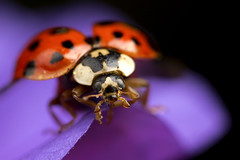 Ladybird about to fly (Muzby1801) Tags: above autumn red summer hairy colour detail macro nature beautiful beauty up composition canon insect lens creativity flying photo interestingness spring amazing nice interesting eyes shiny close wasp purple wildlife extreme watch great flight off bugs 100mm best sharp bee bbc tiny crop take ladybird times 28 manual popular lib lifesize armour antenna metalic sensor hairs robber 4x stacker mpe 65mm 3x springwatch 5x photostack zerene 60d countryfile macrolife