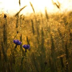 Cornflowers (warmianaturalnie) Tags: morning flower nature sunrise poland fields warmia cornflowers