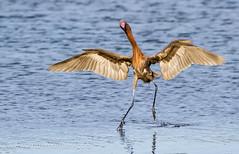 You put your right leg in.......... (Andy Morffew) Tags: florida hokeycokey marcoisland reddishegret dancingbird tigertailbeach birdperfect blinkagain andymorffew morffew