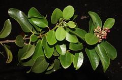 3300 001-01-4858 Santalum ellipticum x S. freycinetianum.  Occurrence 1, plant 1 (female - the plant sets fruit; its flowers do not produce pollen).  O`ahu, northwestern Wai`anae Mts. (jqcl) Tags: santalum hybrid sandalwood santalaceae iliahi hawaii plant oahu nativeplant waianaemountains nativehawaiianplant hawaiianislands santalumellipticumxsfreycinetianum