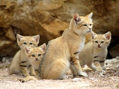 Maman chat des sables et ses 3 bbs (1 mois et demi) (home77_Pascale) Tags: animal cat chat bb chaton flin parcdesflins impressedbeauty nesles chatdessables chatdudsert ringexcellence blinkagain bestofblinkwinners me2youphotographylevel2 me2youphotographylevel1 naissance2012