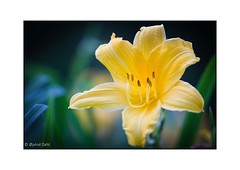 Frederiksberg Have Kbenhavn (jvind) Tags: summer flower macro yellow canon copenhagen sommer 100mm have makro frederiksberg blomst gul kbenhavn dahl jvind 60d
