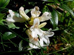 weiße Alpenrose am Ritten