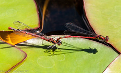 Mating Red Damselflies (David_Rees) Tags: red england macro nature insect leaf nikon waterlily pad 85mm mating damselfly hertfordshire hertford