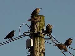 Starlings losing baby feathers. Panasonic G2 + Tokina 60-300mm f4-5.6 (Sang3eta) Tags: baby lumix feathers tokina 300mm g2 losing starlings 1200mm 600mm 60300mm szx pansasonic dmcg2