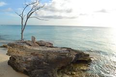 Solitary Tree (bmasdeu) Tags: tree beach rock rocky shore bahamas solitary barren stranded