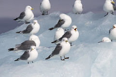 spitsbergen587 blue ice kittiwake (GLRPhotography) Tags: cruise bird norway gull glacier svalbard iceberg spitsbergen circumnavigation blueice blackleggedkittiwake sveabreen msexpedition gadventures realmofthepolarbear yoldiabukta