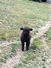 is he coming or going? (fondofsnape) Tags: animal farm lamb blacksheep pickityplace masonnh lionlamb