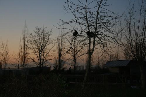 kippen in de boom