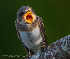 Say Aaaagh! (Andy Morffew) Tags: hampshire sandmartin blashfordlakes naturethroughthelens birdperfect andymorffew morffew