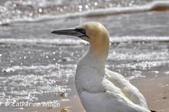Gannet on the beach (weetoon66) Tags: sea beach closeup scotland nikon argyll scottish sigma escocia spca gannet schottland kintyre ecosse morus bassanus foudebassan d5000 150500mm