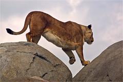 Wildlands Lioness, the Mountaineer (Foto Martien) Tags: lion liones africanlion leeuw leeuwin harem afrikaanseleeuw lwe afrikanischerlwe lenafricano pantheraleo greatcat bigcat animal africa afrika mammal zoogdier predator roofdier wildlandsadventurezoo zooemmen emmen zoo dierenpark dierentuin drenthe netherlands nederland holland dutch geotaggedwithgps sony a77 sonyalpha77 sonyslta77v tamron70300mmf456sp martienuiterweerd fotomartien