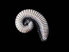 Gusano. (cachanico) Tags: olympus omdem5 gusano macro flash teruel aragn cachanico mzd1250 1250mm