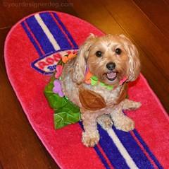My Little Hula Girl (yourdesignerdog) Tags: ifttt wordpress all posts wordless wednesday blog cute designer dogs dog costume smiling flower lei grass skirt hawaiian hula luau party