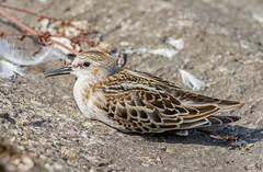 DSC7885  Little Stint.. (jefflack Wildlife&Nature) Tags: stint littlestint birds avian wildlife wildbirds wetlands waders reservoirs lakes estuaries countryside coastalbirds shorebirds nature