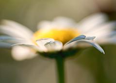Daisy (mclcbooks) Tags: flower flowers floral macro closeup daisy daisies branford connecticut summer focusstacking zerenestacker