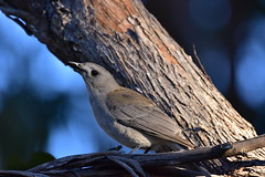 Grey Shrike-thrush (Luke6876) Tags: greyshrikethrush bird animal wildlife australianwildlife
