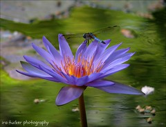 My dear young cousin, if there's one thing I've learned over the eons, it's that you can't give up on your family.... (itucker, thanks for 2.4+ million views!) Tags: macro bokeh waterlily dragonfly bluedasher dukegardens reflection