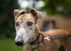 Dorma (- POD -) Tags: foster greyhound dog portrait hound outside eyes