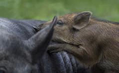 Wild Boar (malkv(500,000 + Views)) Tags: canon 600d nature wildlife wild boar mum