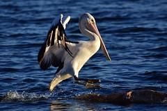 About to land (Luke6876) Tags: australianpelican pelican bird animal wildlife australianwildlife water
