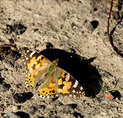 Distelfalter 1 (Danyel B. Photography) Tags: butterfly schmetterling distelfalter falter insect insekt macro makro nature