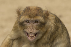 Berberaap - Ouwehands (Jan de Neijs Photography) Tags: berberaap berber ouwehands ouwehandsdierenpark zoo dierentuin aap barbarymacaque tamron tamron150600